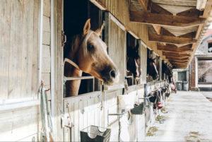 caballos en su cuadra asomando la cabeza