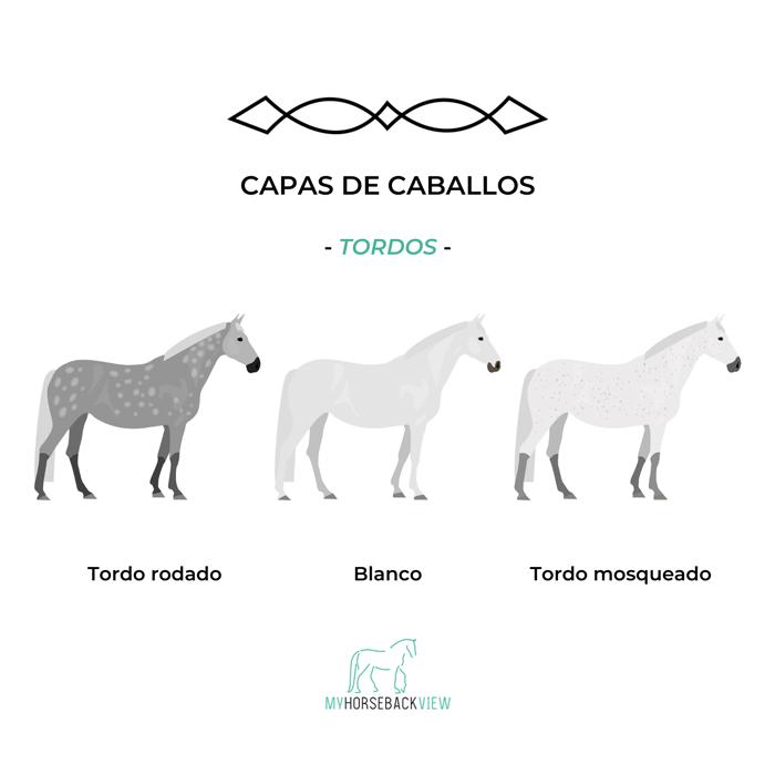 capas habituales del caballo: tordo rodado, blanco, tordo mosqueado