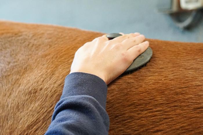 pasando la rasqueta por el dorso del caballo para eliminar suciedad para el esquilado