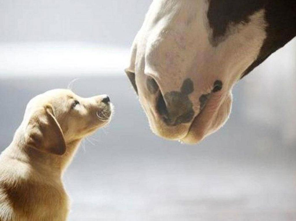 caballos clydesdale de budweiser en un anuncio con un perro