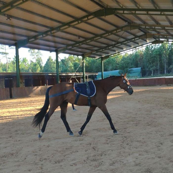 caballo castaño trabajando pie a tierra con teraban