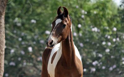 Razas de caballo curiosas: Marwari